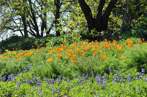 CAMPUS BUZZWAY at UC Davis is awash in gold and blue: California poppies and lupine. (Photo by Kathy Keatley Garvey)
