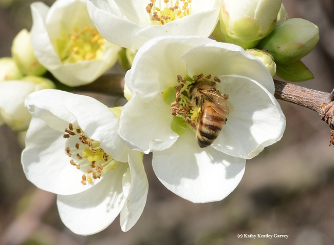 A honey bee takes a liking to white flowering quince in the White Garden, UC Davis Arboretum. (Photo by Kathy Keatley Garvey)