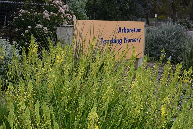 The UC Davis Arboretum Teaching Nursery will be the site of a Member Appreciation Sale on Saturday, March 12. Prospective members can join at the door. (Photo by  Kathy Keatley Garvey)