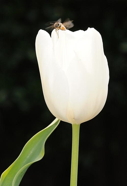 Bee on Tulip