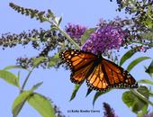A monarch butterfly nectaring on a butterfly bush in Sacramento. (Photo by Kathy Keatley Garvey)