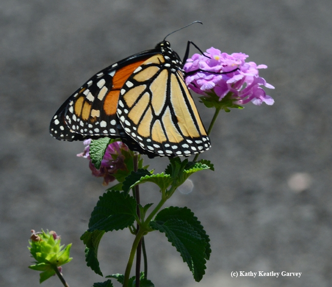 A monarch butterfly feeding on a lantana in Vacaville, Calif. (Photo by Kathy Keatley Garvey)