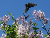 Two pipevine swallowtails on the Korean lilac, Syringa patula, in the Storer Garden, UC Davis Arboretum. (Photo by Kathy Keatley Garvey)