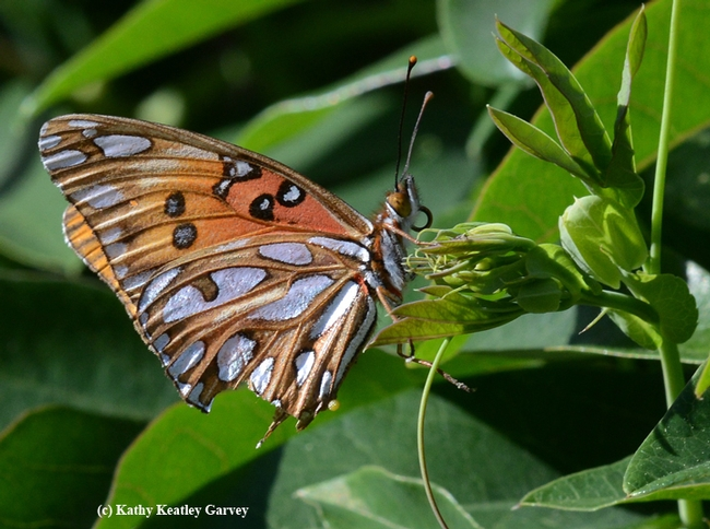 Gulf Fritillary, Agraulis vanillae, laying an egg (see tiny yellow dot protruding from the abdomen.) (Photo by Kathy Keatley Garvey)