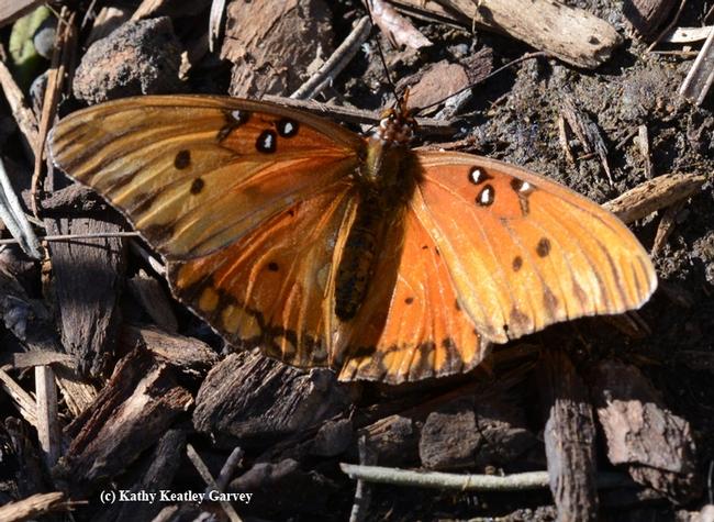 An adult Gulf Fritillary--wingspan still intact--basking in the sunshine. (Photo by Kathy Keatley Garvey)