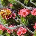 A male Valley carpenter bee, Xylocopa varipuncta, on a tower of jewels (Echium wildpretii). (Photo by Kathy Keatley Garvey)