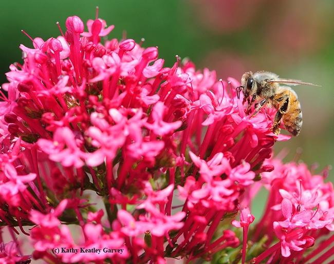 A honey bee foraging on Jupiter's Beard. (Photo by Kathy Keatley Garvey)