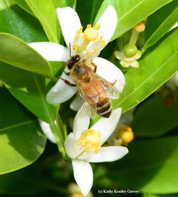A honey bee on a tangerine blossom. (Photo by Kathy Keatley Garvey)