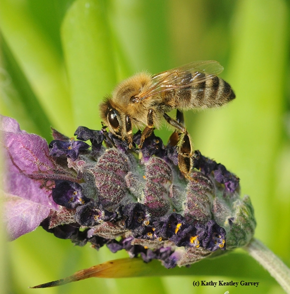 A honey bee nectaring lavender. (Photo by Kathy Keatley Garvey)