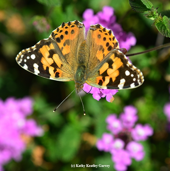 Painted lady butterflies will be part of the Pollinator Pavilion at Briggs Hall. This one is a female. There will be live insects and photographic images. (Photo by Kathy Keatley Garvey)