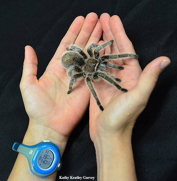 This is Peaches, a rose-haired tarantula at the Bohart Museum of Entomology. (Photo by Kathy Keatley Garvey)