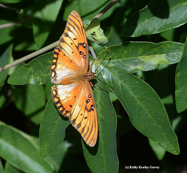 A depigmentized Gulf Fritillary laying eggs on a passionflower vine. (Photo by Kathy Keatley Garvey)