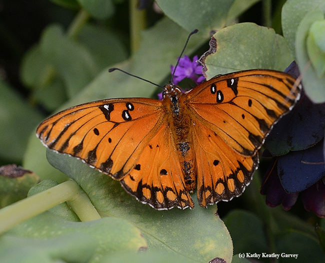 This Gulf Fritillary isn't depigmentized. (Photo by Kathy Keatley Garvey)