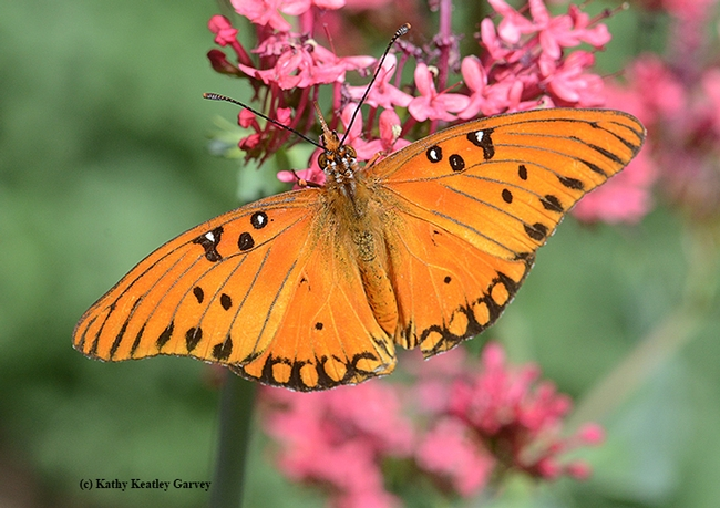 This Gulf Fritllary is nectaring on a Jupiter's Beard. (Photo by Kathy Keatley Garvey)