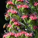 Two honey bees forage in the tower of jewels, Echium wildpretii. (Photo by Kathy Keatley Garvey)