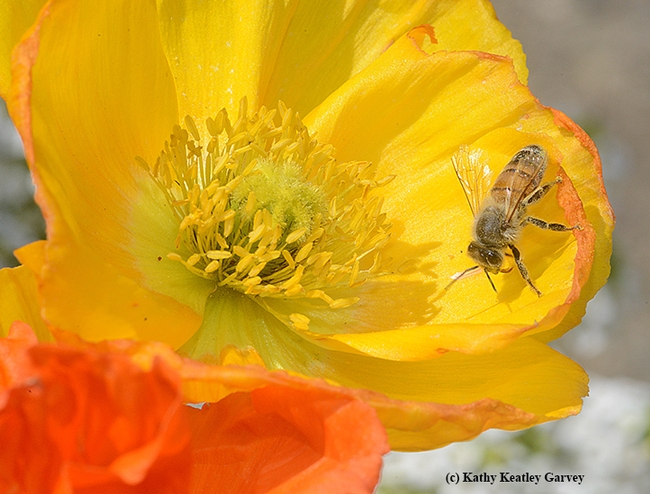 An Italian honey bee dusted with pollen. It is foraging on an Iceland poppy. (Photo by Kathy Keatley Garvey)