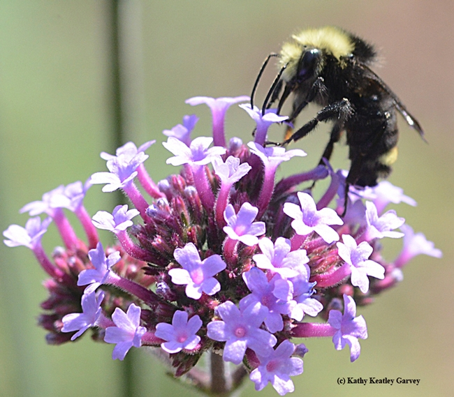 Yellow-faced bumble bee (Bombus vosnesenskii), foraging on verbena. (Photo by Kathy Keatley Garvey)