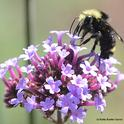 Yellow-faced bumble bee (Bombus vosnesenskii), foraging on verbena. (Photo by Kathy Keatley Garvey)