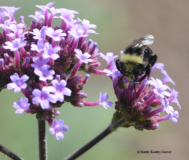 Its wings glistening, the yellow-faced bumble bee, Bombus vosnesenskii, sips nectar.(Photo by Kathy Keatley Garvey)