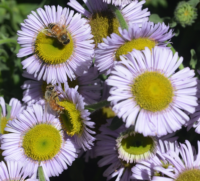 Honey bees foraging in the haven on seaside daisies,  Erigeron glaucus