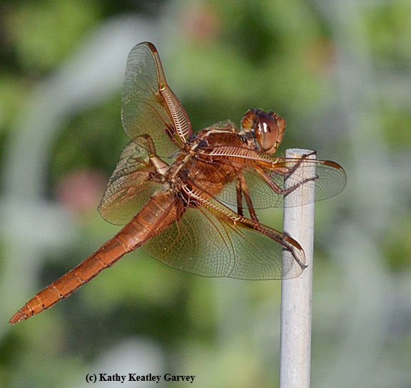 Red flameskimmer dragonfly (Libellula saturata) perches on a bamboo stake. (Photo by Kathy Keatley Garvey)