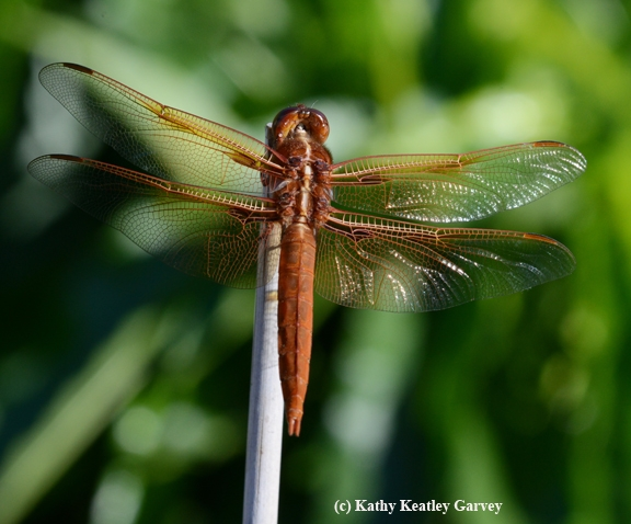 The red flameskimmer dragonfly (Libellula saturata) tries a new position. (Photo by Kathy Keatley Garvey)