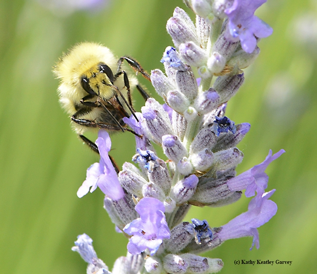 A male bumble bee, Bombus vandykei, sips nectar from a lavender blossom. (Photo by Kathy Keatley Garvey)