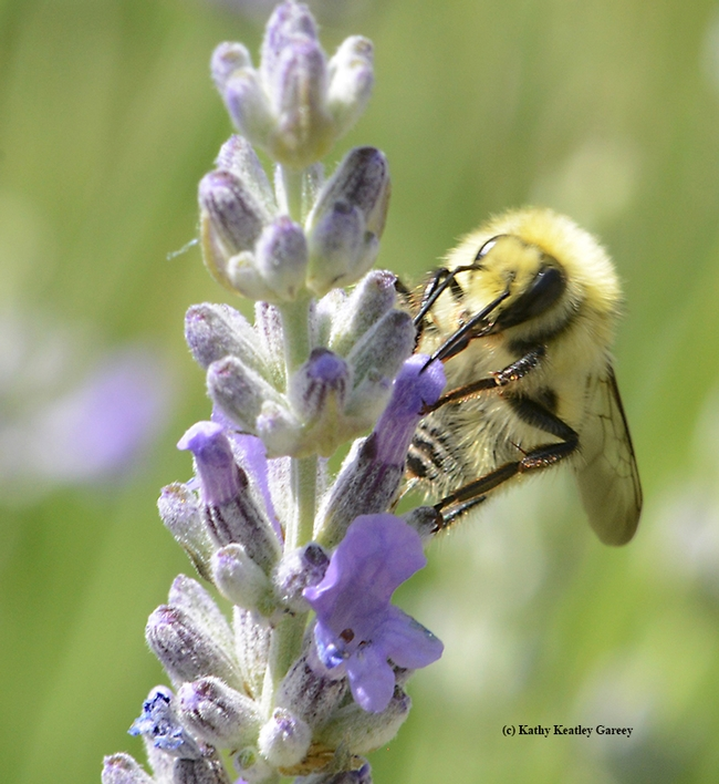 Another lavender blossom draws the attention of the male bumble bee, Bombus vandykei.  (Photo by Kathy Keatley Garvey)