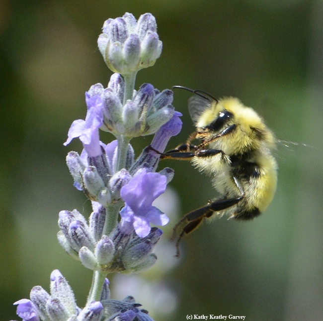 Side view of the male bumble bee, Bombus vandykei. (Photo by Kathy Keatley Garvey)