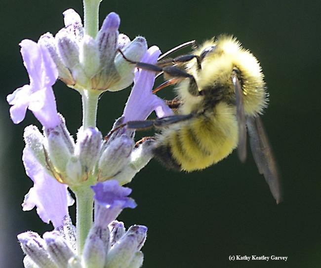 Look ma, no head! The male bumble bee, Bombus vandykei, draws nectar through his tongue or proboscis. (Photo by Kathy Keatley Garvey)