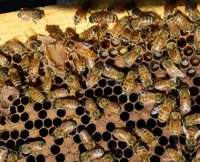 Find the queen? This photo was taken in the apiary of Jackie Park-Burris Queens, Palo Cedro. (Photo by Kathy Keatley Garvey)