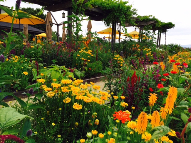 Another view of the pollinator gardens at Lynmar Estate Winery, Sebastopol. Kate Frey serves as the consultant.