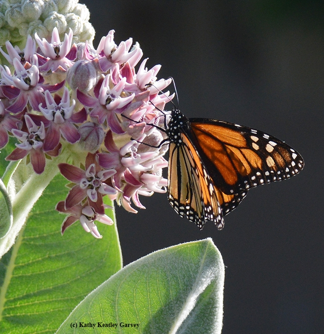 A monarch butterfly sipping nectar from a broadleaf milkweed, Asclepias speciosa. (Photo by Kathy Keatley Garvey)