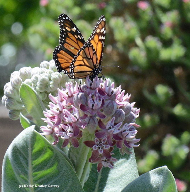 The glow of a monarch butterfly is like a stained glass window.(Photo by Kathy Keatley Garvey)