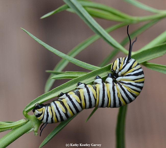 A monarch caterpillar chewing on a narrow-leafed milkweed. (Photo by Kathy Keatley Garvey)