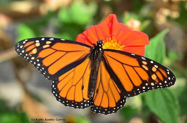 A male monarch butterfly on a Mexican sunflower (Tithonia). How can you tell it's a male? Note the distinguishable black spot on each hind wing. (Photo by Kathy Keatley Garvey)
