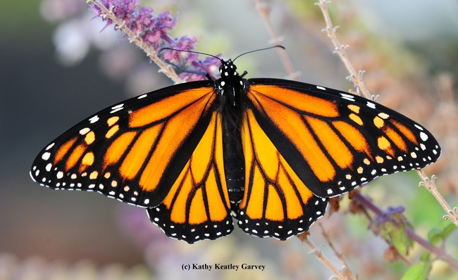 A female monarch butterfly on lavender. Note the absence of the black spots on the hind wings. (Photo by Kathy Keatley Garvey)