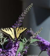 A Western tiger swallowtail foraging on a butterfly bush, Buddleia. (Photo by Kathy Keatley Garvey)