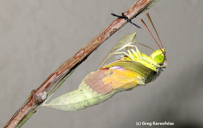 Adult California dogface butterly eclosing from chrysalis. (Photo by Greg Kareofelas)