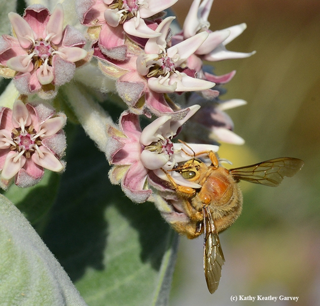 A male Valley carpenter bee, Xylocopa varipuncta, a green-eyed blond, sipping nectar from the milkweed.(Photo by Kathy Keatley Garvey)