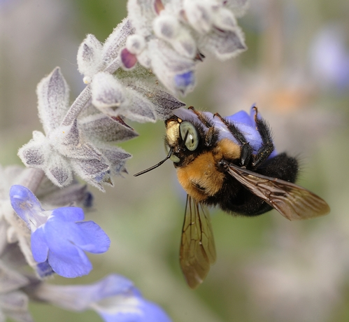 CARPENTER BEE, the subject of retired entomologist Jeffrey Granett's art work, robs nectar from mint in a UC Davis wildflower bed. This carpenter bee is a male Xylocopa tabaniformis orpifex. (Photo by Kathy Keatley Garvey)