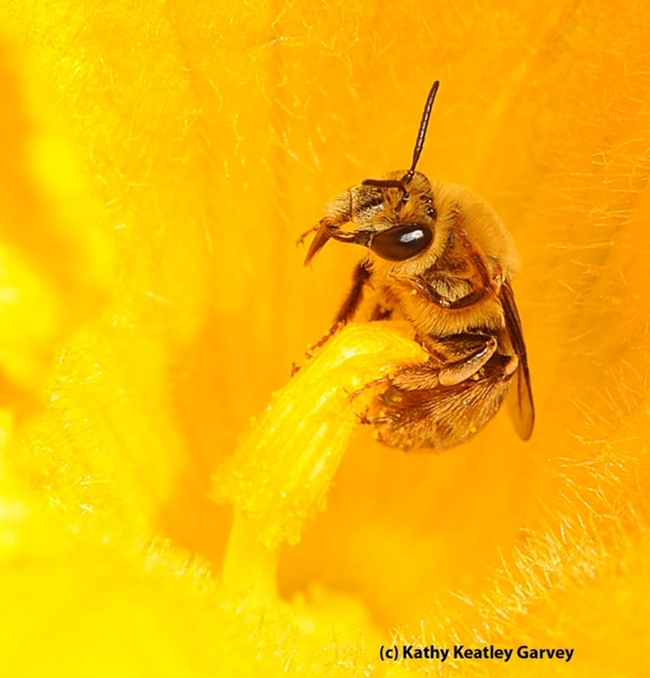 Squash bee, Peponapis pruinosa, pollinating a squash blossom. (Photo by Kathy Keatley Garvey)