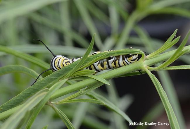 A fifth instar caterpillar partially hidden in the narrow-leafed milkweed. (Photo by Kathy Keatley Garvey)
