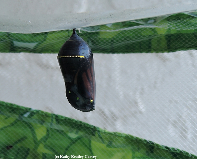 The chrysalis turned from jade green to transucent. You can see the butterfly inside, almost ready to eclose. (Photo by Kathy Keatley Garvey)