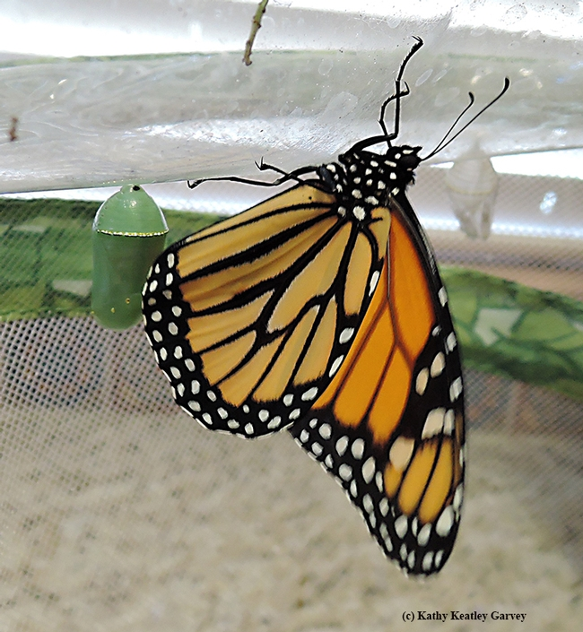 The newly emerged male monarch dries its wings. At left is the second chrysalis, which turned out to be a female. (Photo by Kathy Keatley Garvey)