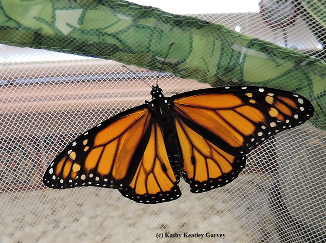 The first male monarch of the season, ready to be released. (Photo by Kathy Keatley Garvey)