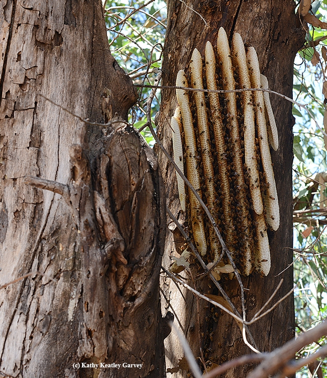 A feral honey bee colony, with exposed comb, on a Eucalyptus tree in Vacaville. (Photo by Kathy Keatley Garvey) for Bug Squad Blog