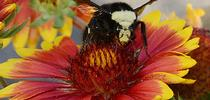 A newly emerged yellow-faced bumble bee queen, Bombus vosnesenskii, eyes the photographer as it forages on blanket flower (Gaillardia). (Photo by Kathy Keatley Garvey) for Bug Squad Blog