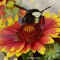 A newly emerged yellow-faced bumble bee queen, Bombus vosnesenskii, eyes the photographer as it forages on blanket flower (Gaillardia). (Photo by Kathy Keatley Garvey)
