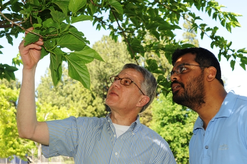 CHEMICAL ECOLOGISTS professor Walter Leal (left) and postdoctoral scholar Zain Syed inspect a mulberry tree, planted on the Briggs Hall lawn, UC Davis, in memory of professor Susumu Maeda. The scientists use the tree to rear silkworm moths for their studies on insect olfaction. (Photo by Kathy Keatley Garvey)